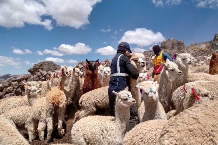 Entrega de kits veterinarios en Huancavelica.