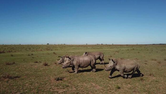 Rinocerontes en peligro se emite el 19 de septiembre a las 9:30 PM en National Geographic. El último rinoceronte blanco llega a la pantalla de National Geographic Wild el 22 de septiembre a las 7 PM, donde el homenaje también incluye más programación temática para difundir la importancia de la conservación de la especie.
